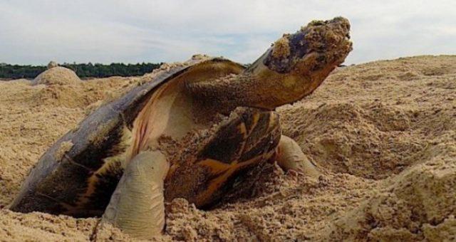 Blog do Lawrence | A Desova das Tartarugas